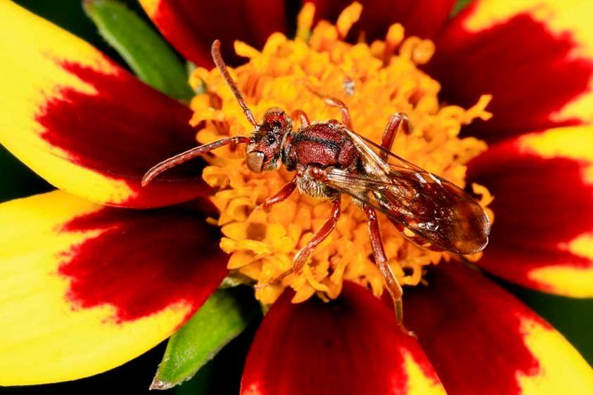 Cuckoo Bee - Nomada ruficornis