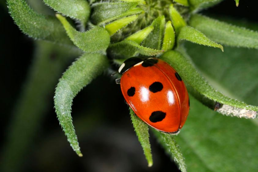 Seven-spot Lady Beetle - Cocinella septapunctata
