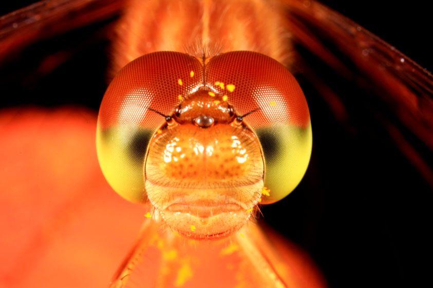 Autumn Meadowhawk Dragonfly - Sympetrum obtrusum