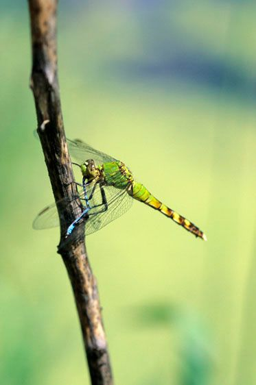 Green Clearwing Dragonfly - Erythemis simplicicollis - female