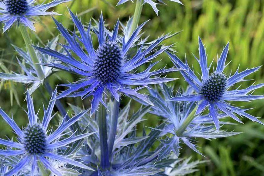 Sea Holly - Eryngium x zabellii 'Big Blue'