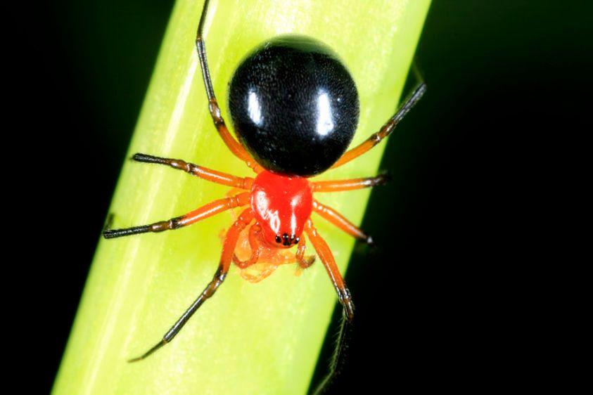 Splendid Dwarf Spider - Hypselistes florens - and captured mite