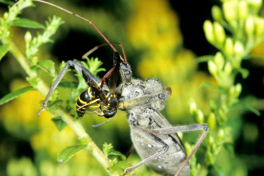 Wheel Bug - Arilus cristatus and captured Wasp