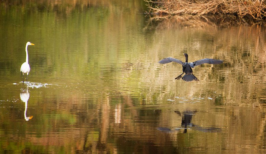 1cormorant.jpg