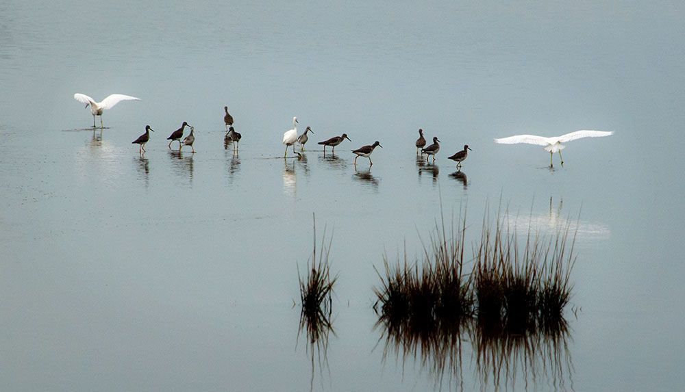 1yellowlegs_and_egrets.jpg