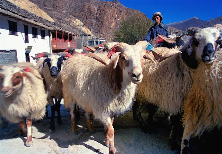 Jomson Sheep
