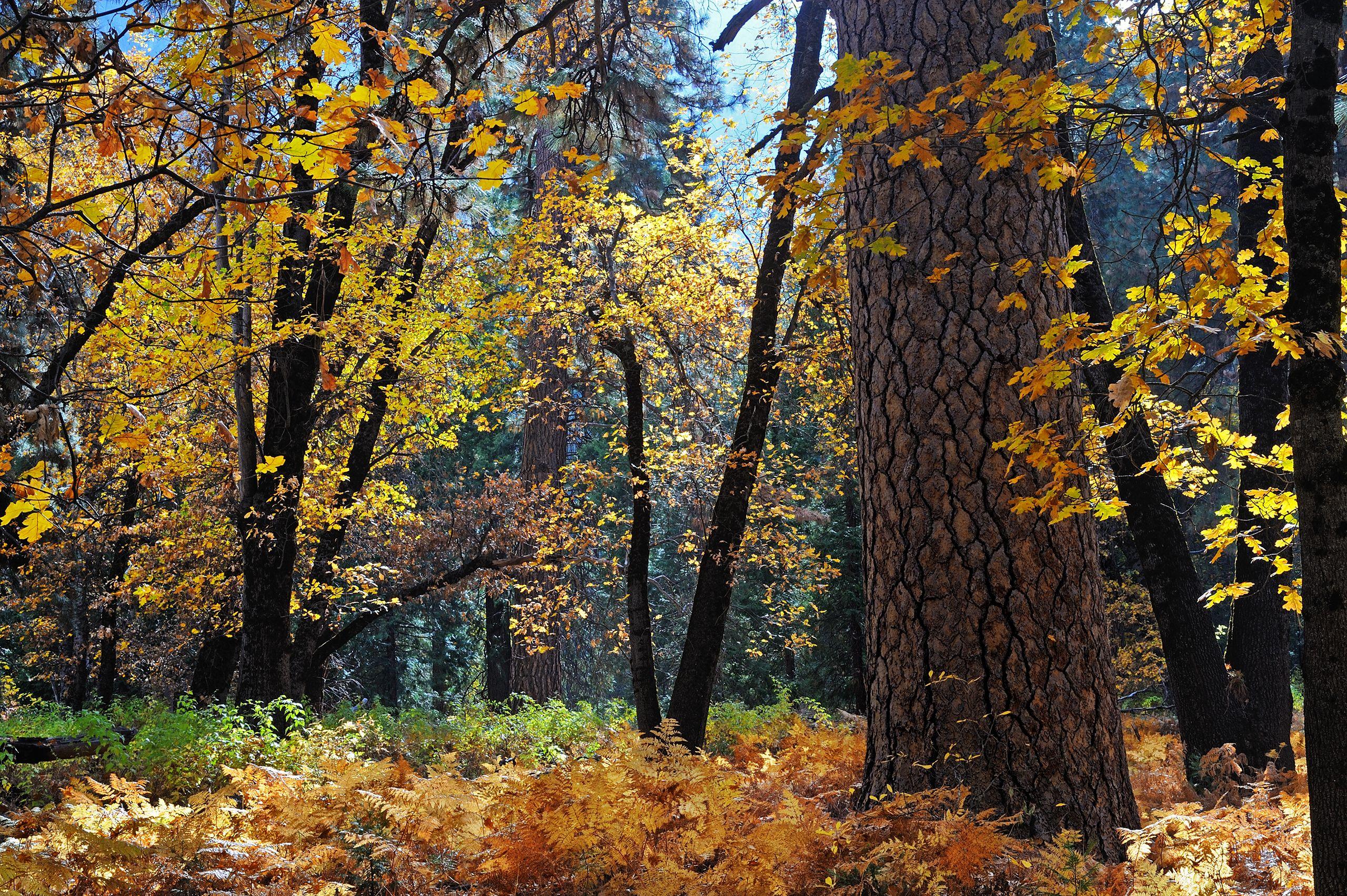 Fall Leaves in Yosemite