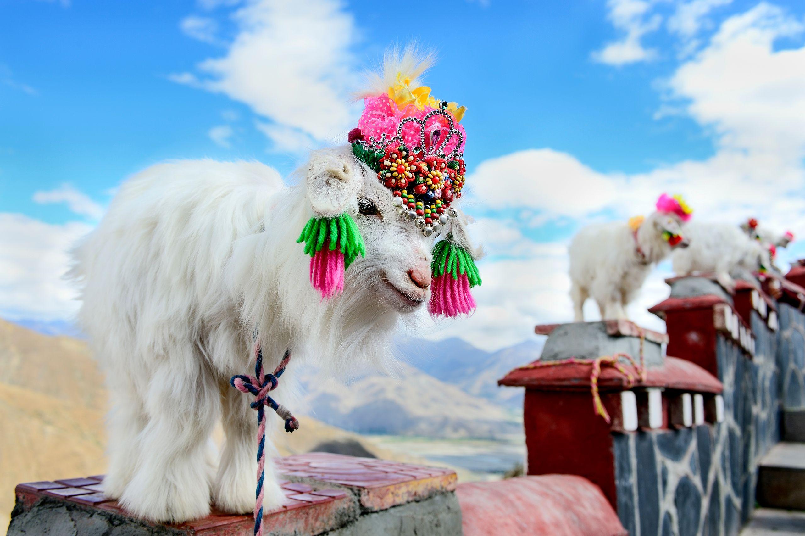 Miniature Goat in Tibet