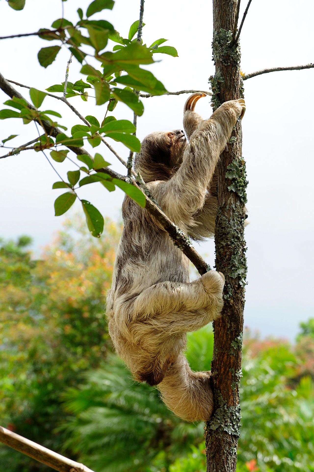 Three-Toed Sloth Climbing a Tree