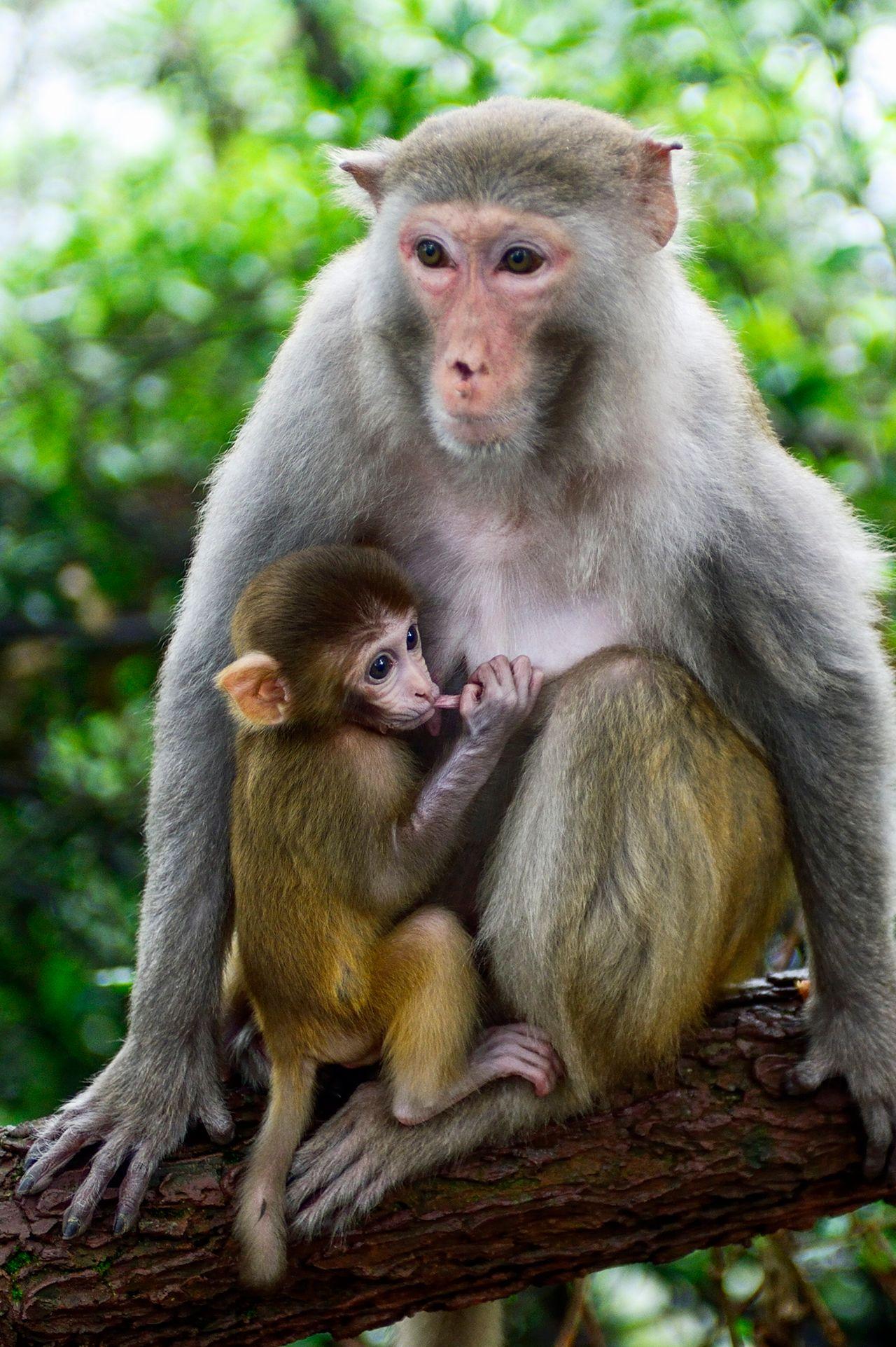 Nursing Macaque Monkey