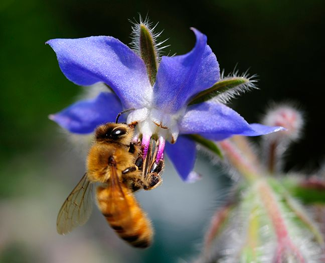Bee on Borage