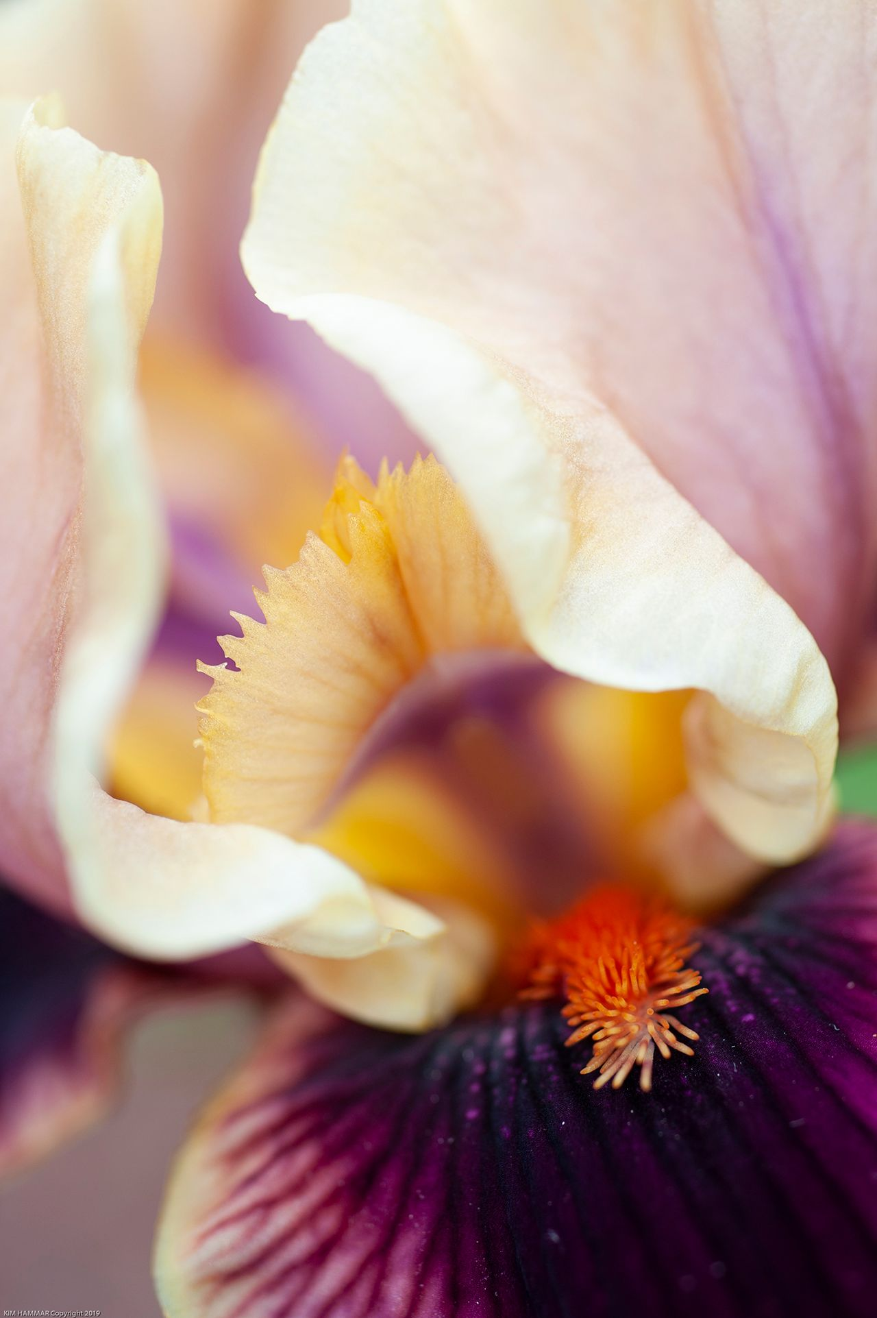 """Iris """"Parquet"""" Flower"""
