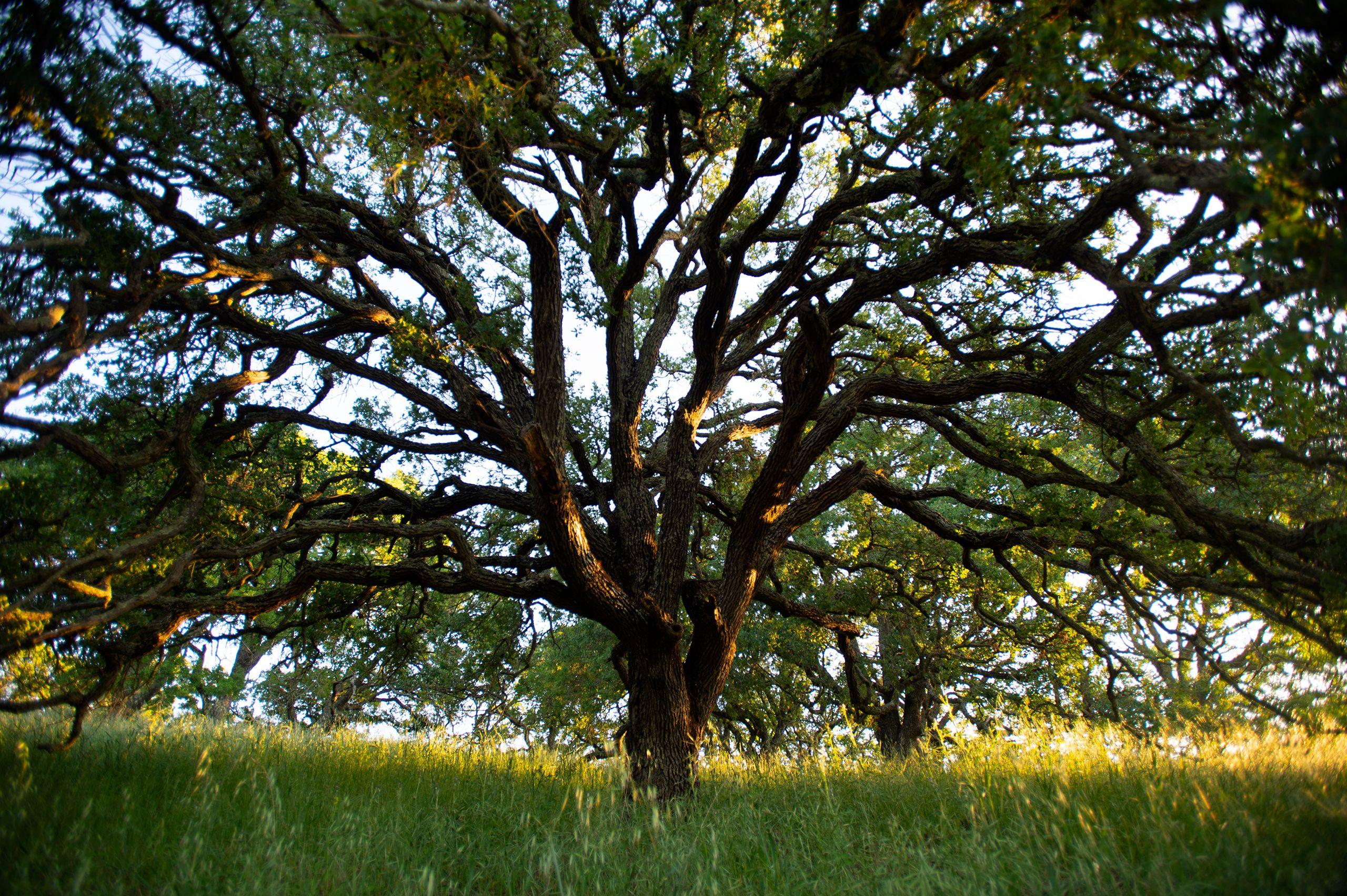 Oak Tree on Mount Wanda