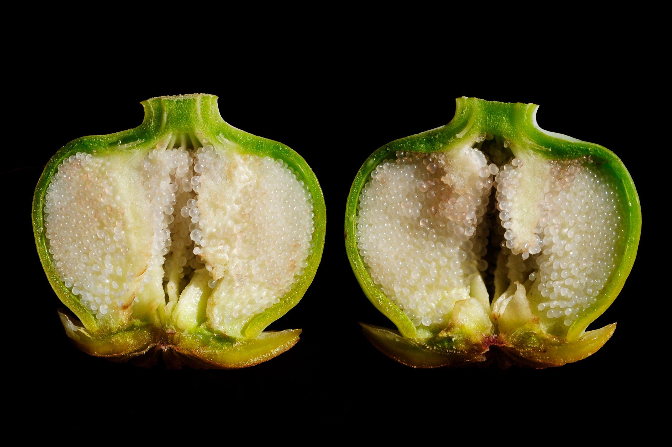 Turkish Poppy Seedpod