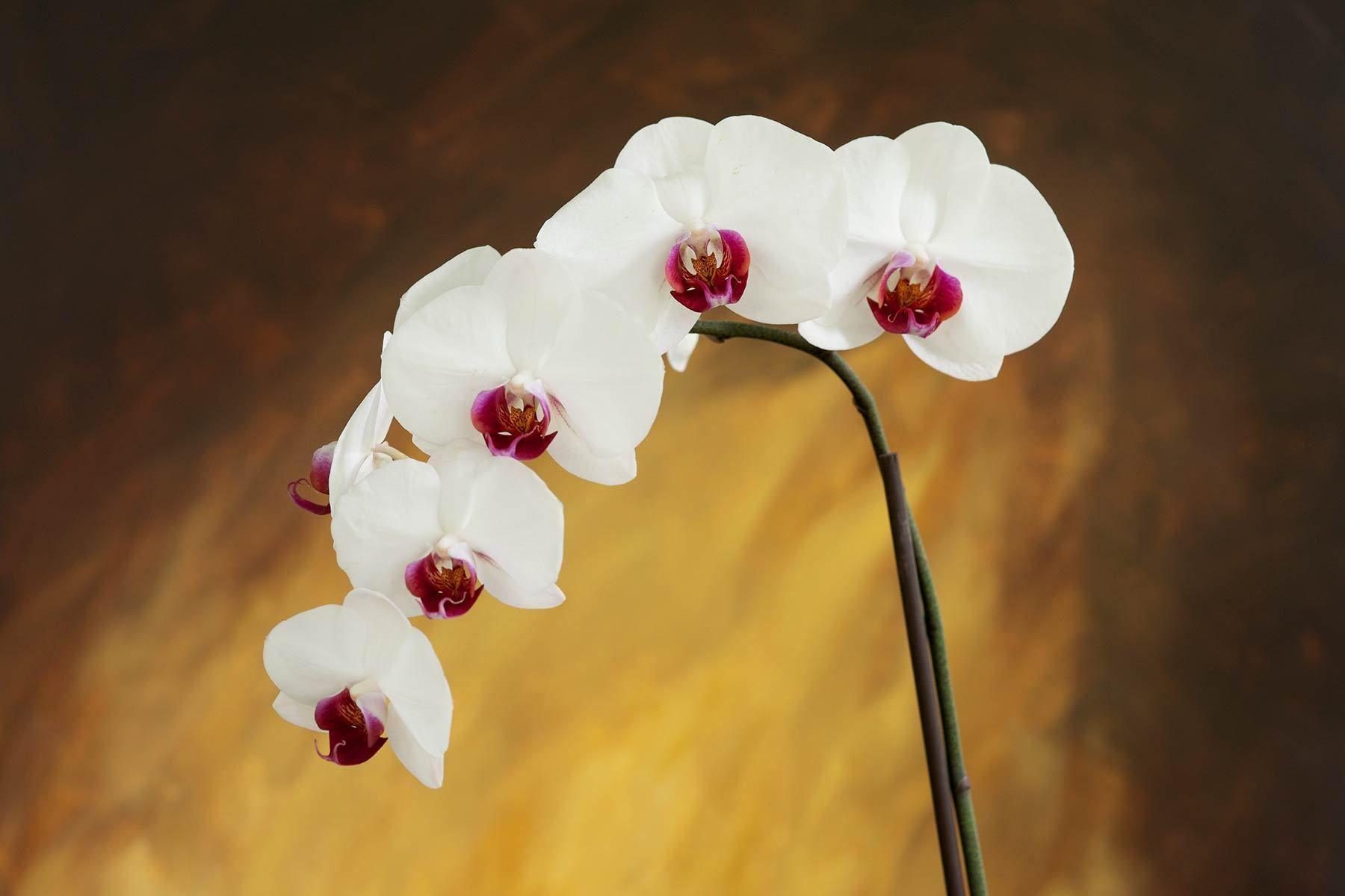 1white_orchid_bkgnd_1.jpg