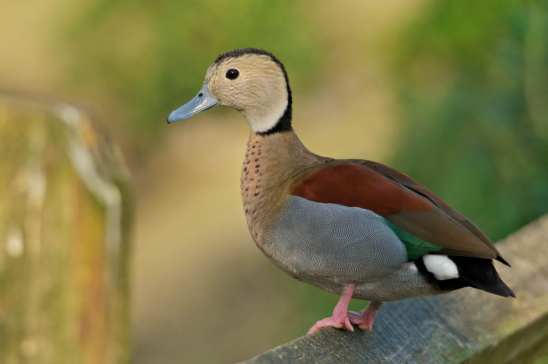 1sylvan_duck_4.jpg