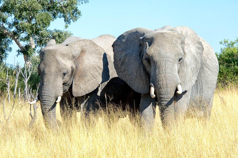 Big Elephants