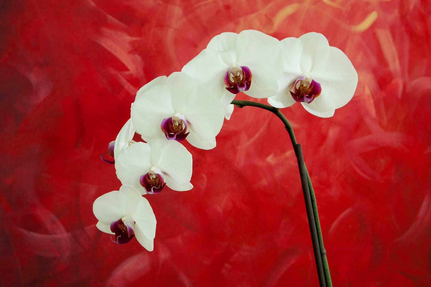 1white_orchid_bkgnd_red.jpg