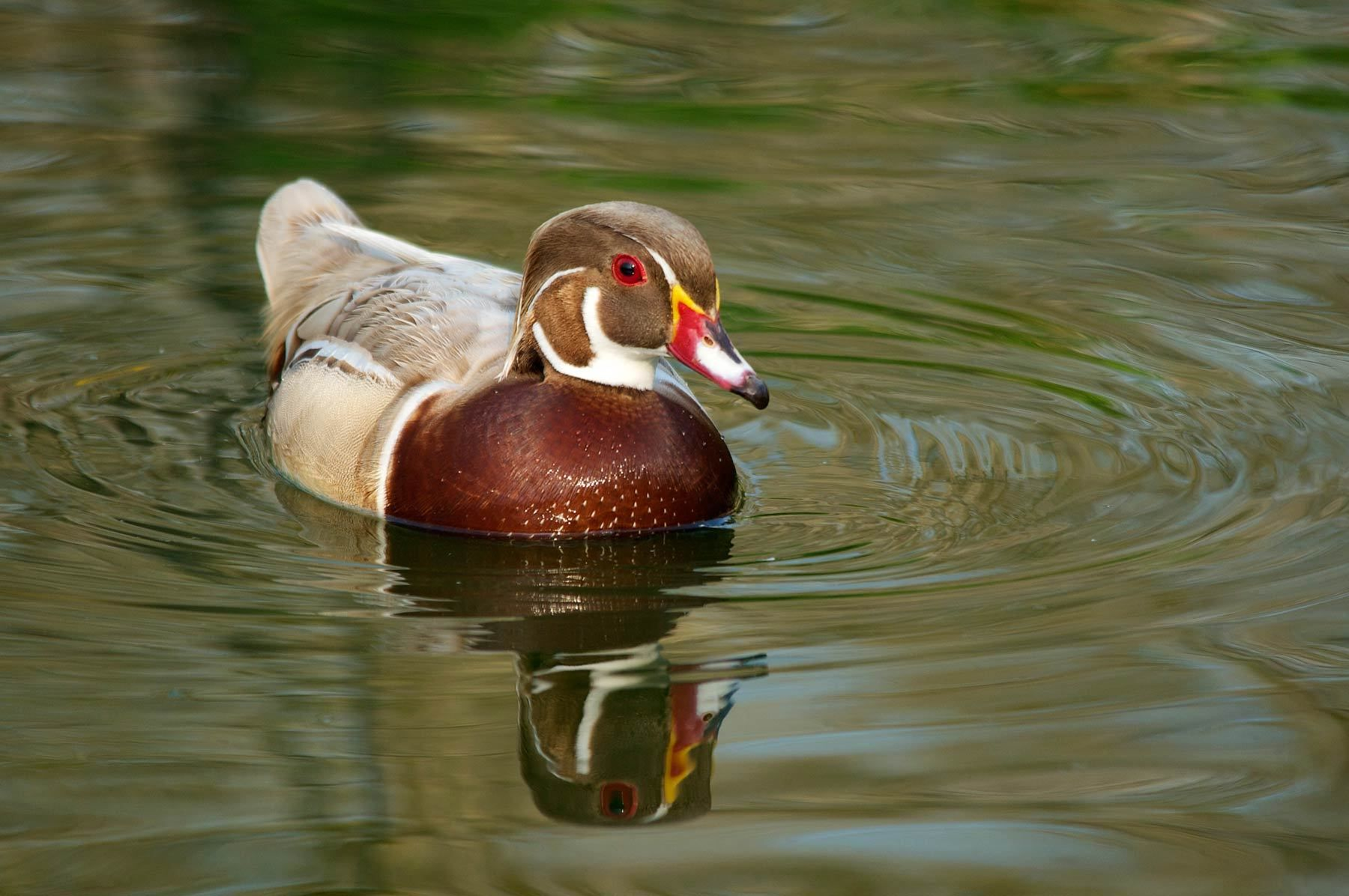 1sylvan_duck_3.jpg