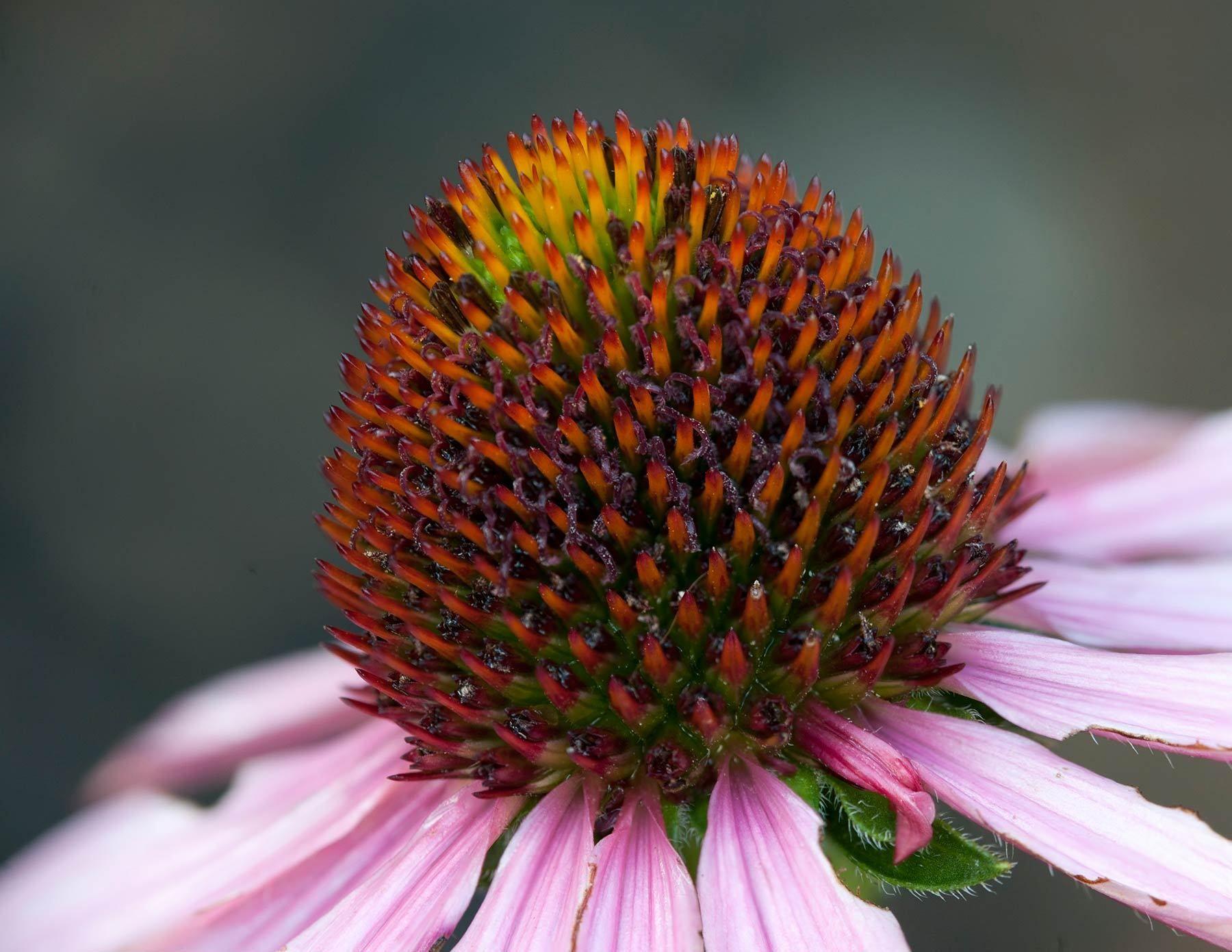1coneflower.jpg