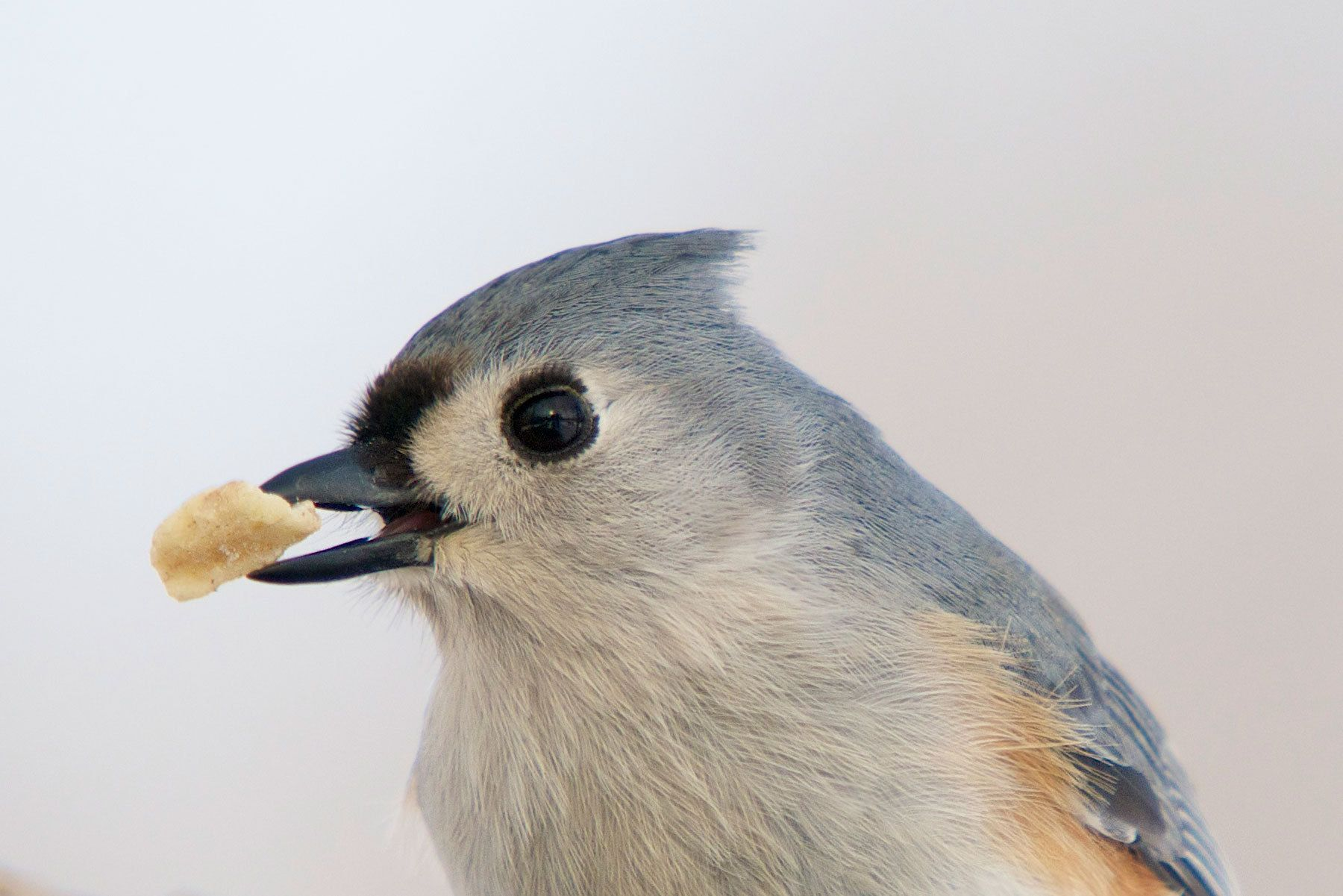 """Nutty Titmouse 2"""