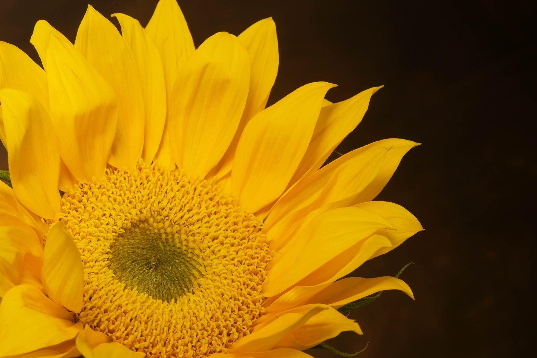 1yellow_sunflower.jpg