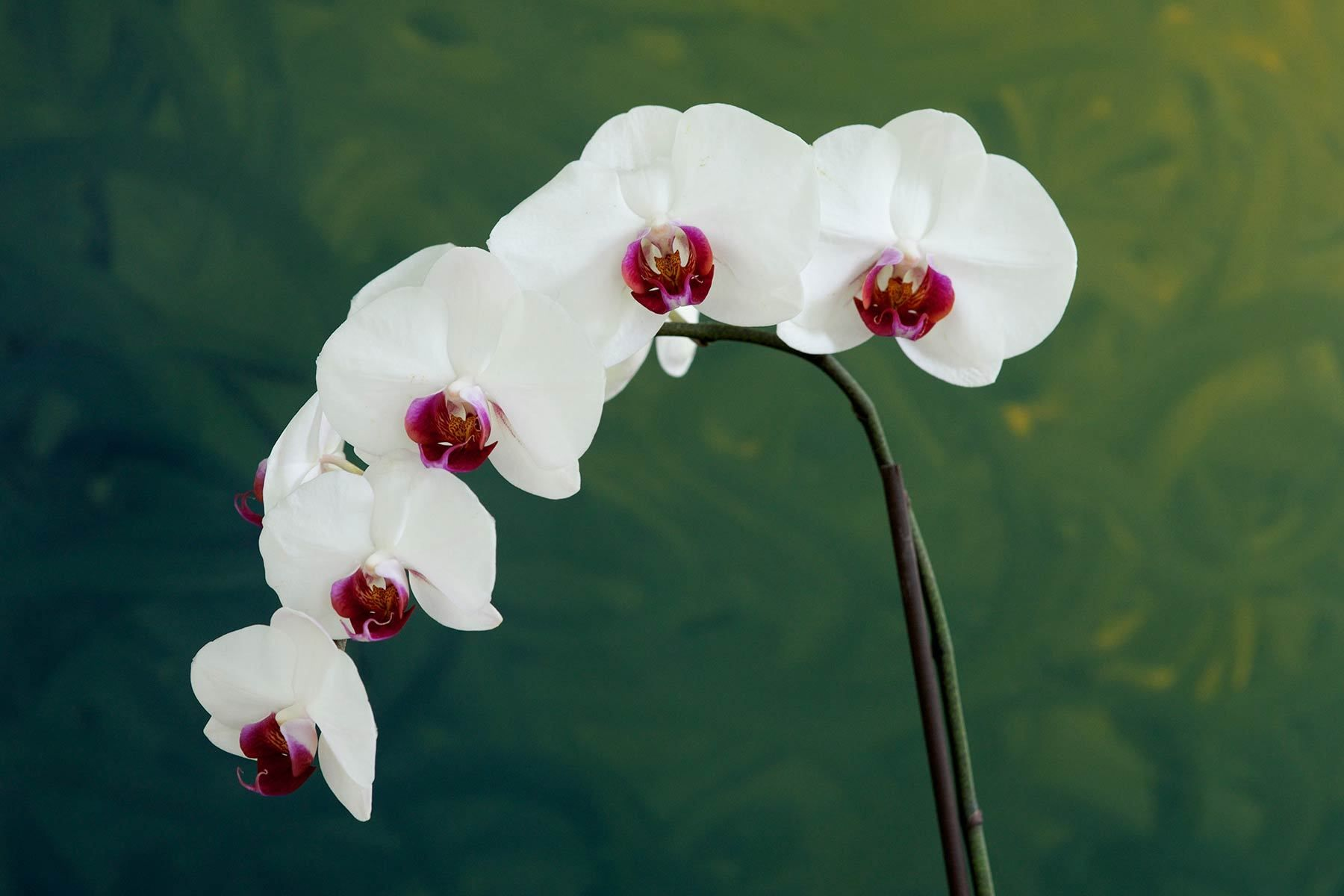 1white_orchid_bkgnd_grn.jpg