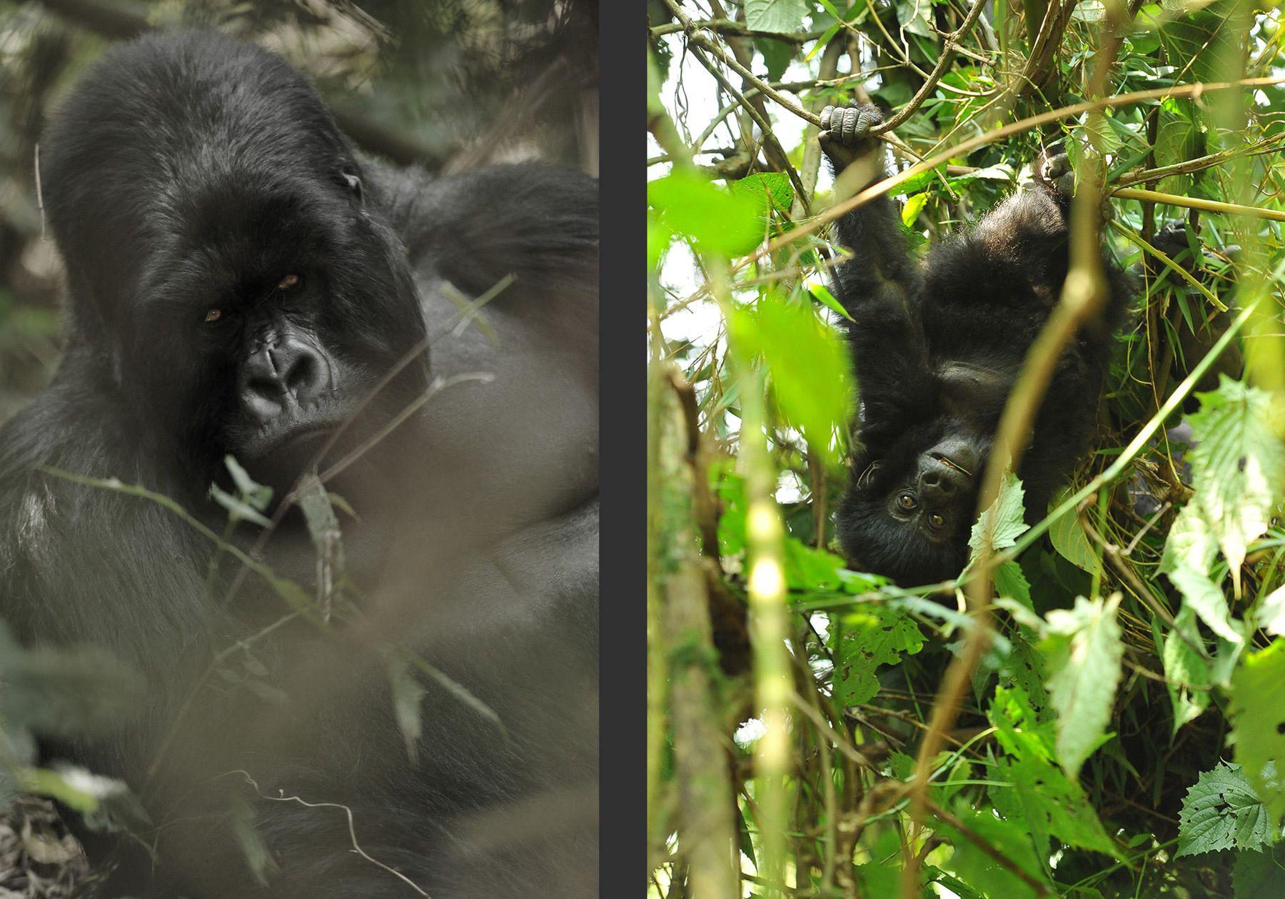 Virunga silverback & son, Rwanda