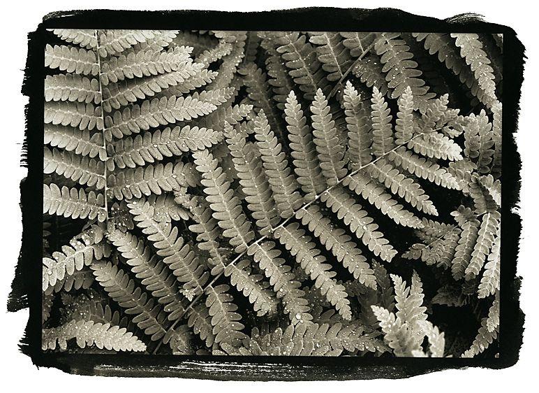 Ferns Tinmouth Vermont