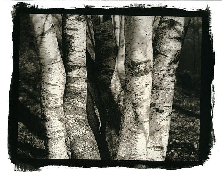 Brich Trees, Westford Vermont Westford, Vermont2010