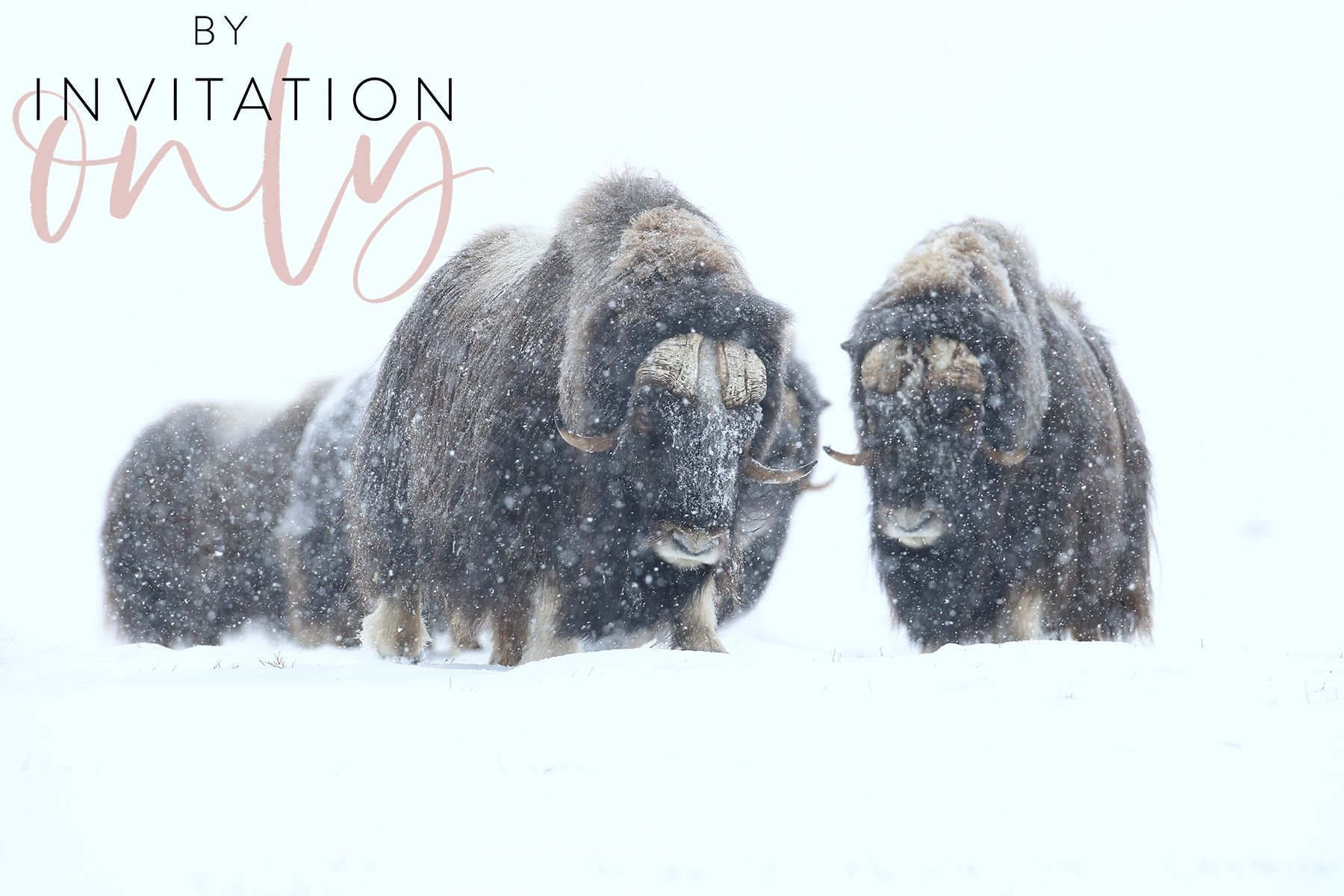 Musk Ox Expedition