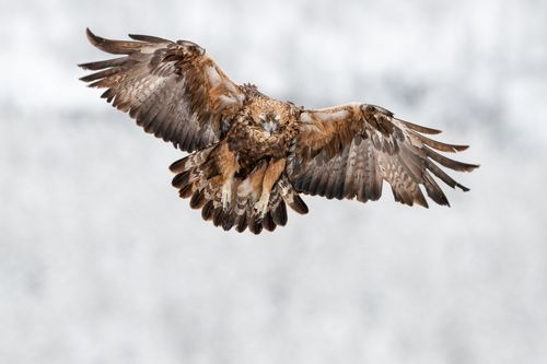 Golden Eagle Finland Winter