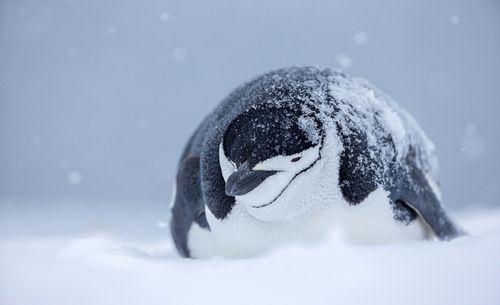 4_1chinstrap_penguin_antarctica.jpg