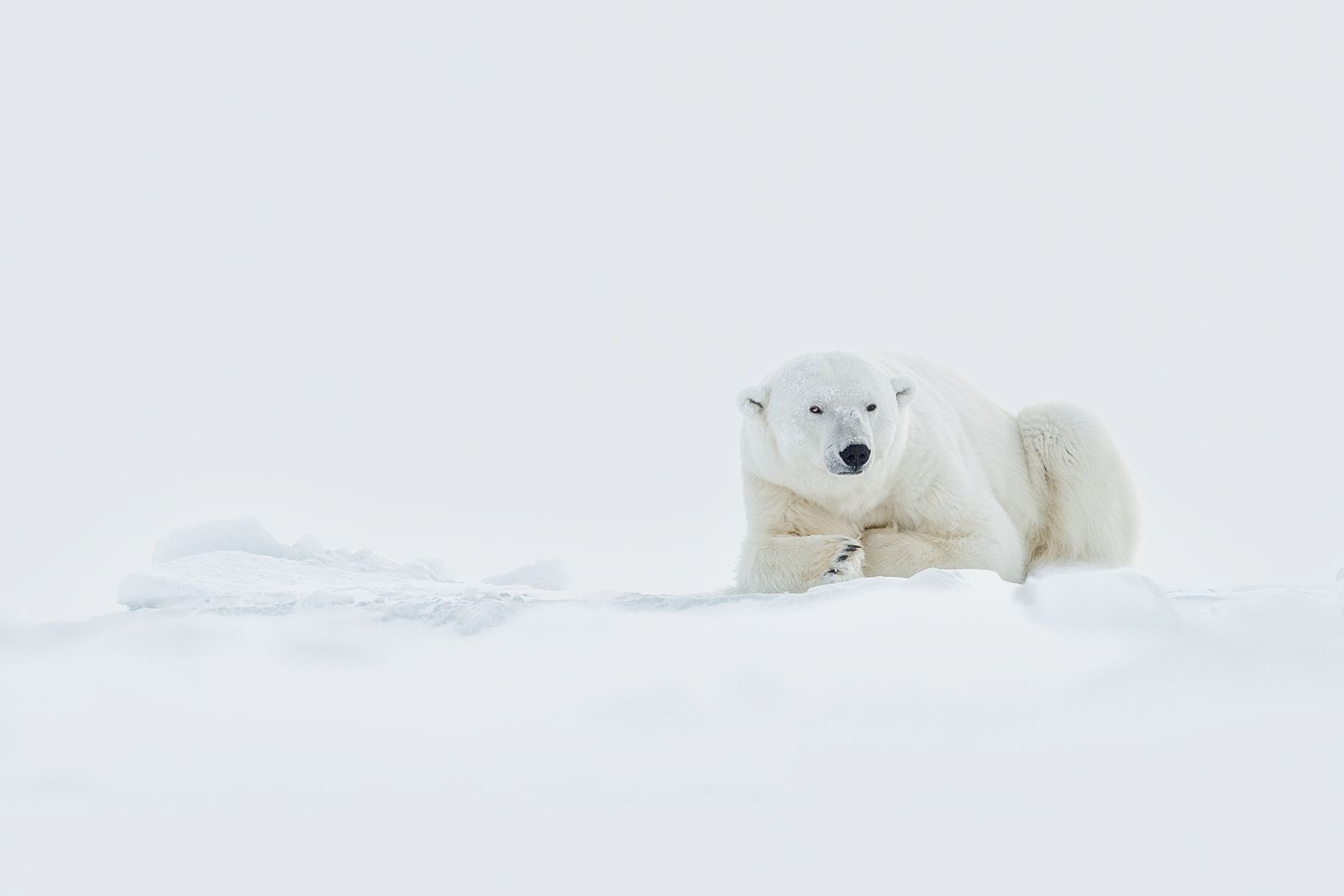 Polar Bear on the Sea Ice of Svalbard in Winter