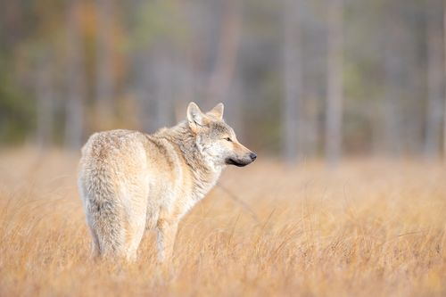 Wolf on the Finland border with Russia