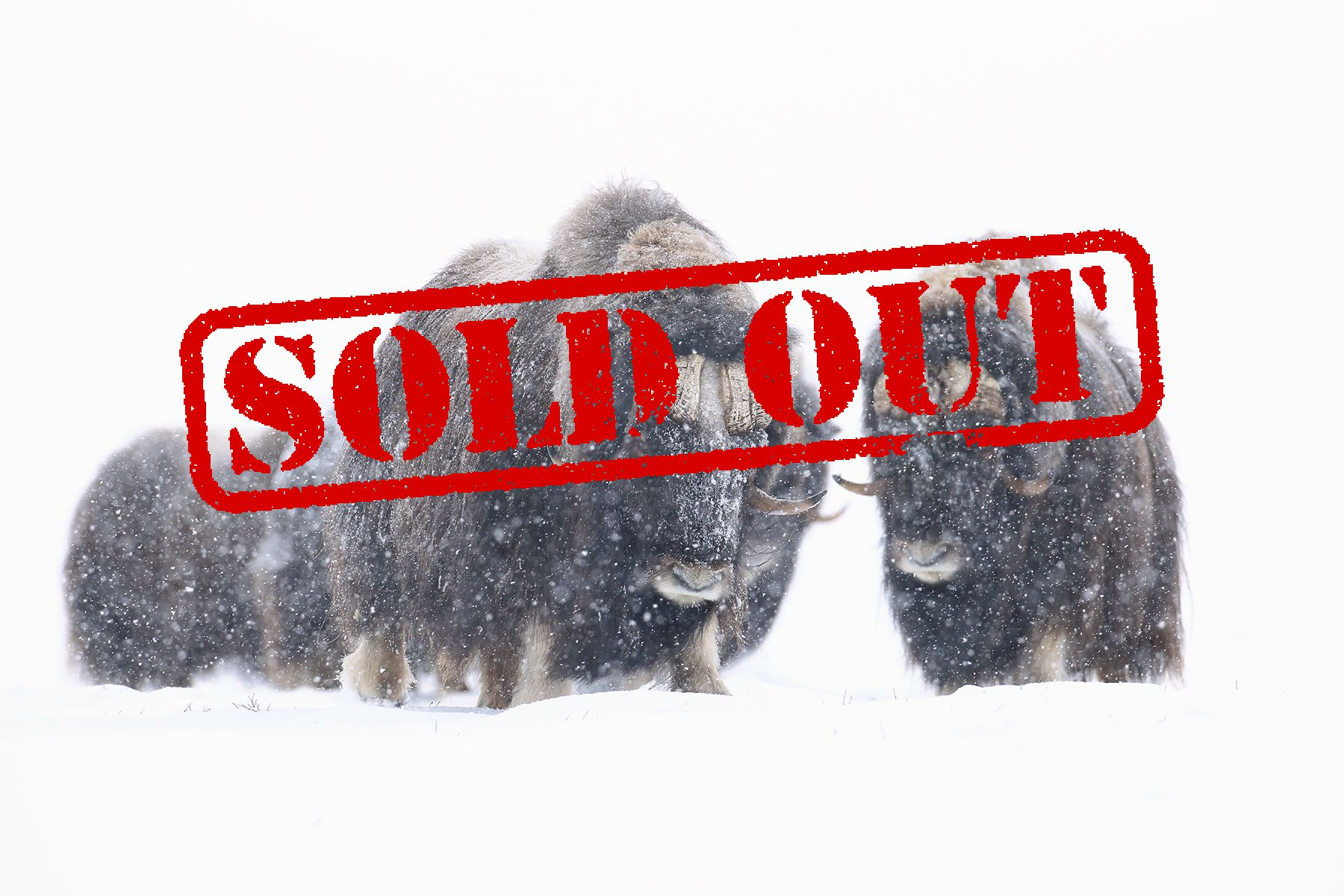 Musk Oxen in Winter Expedition in Eastern Greenland with Joshua Holko