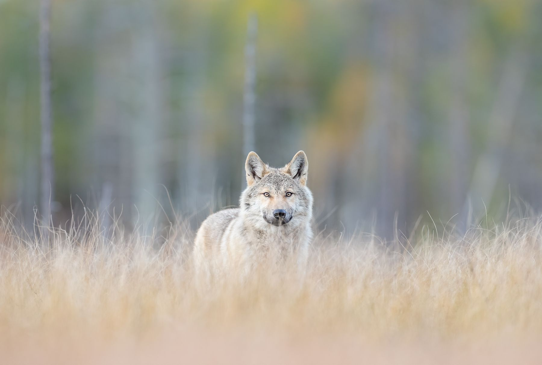 Wolf on the Russian Border of Finland