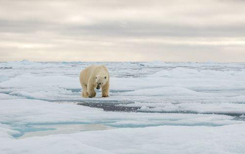 PolarBearSvalbard-1.jpg