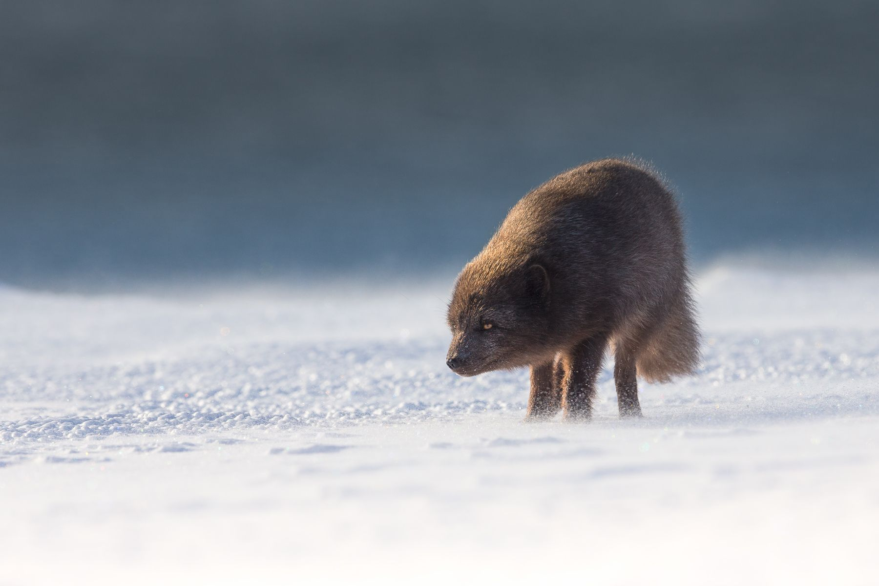 ArcticFoxesWinter2018.jpg