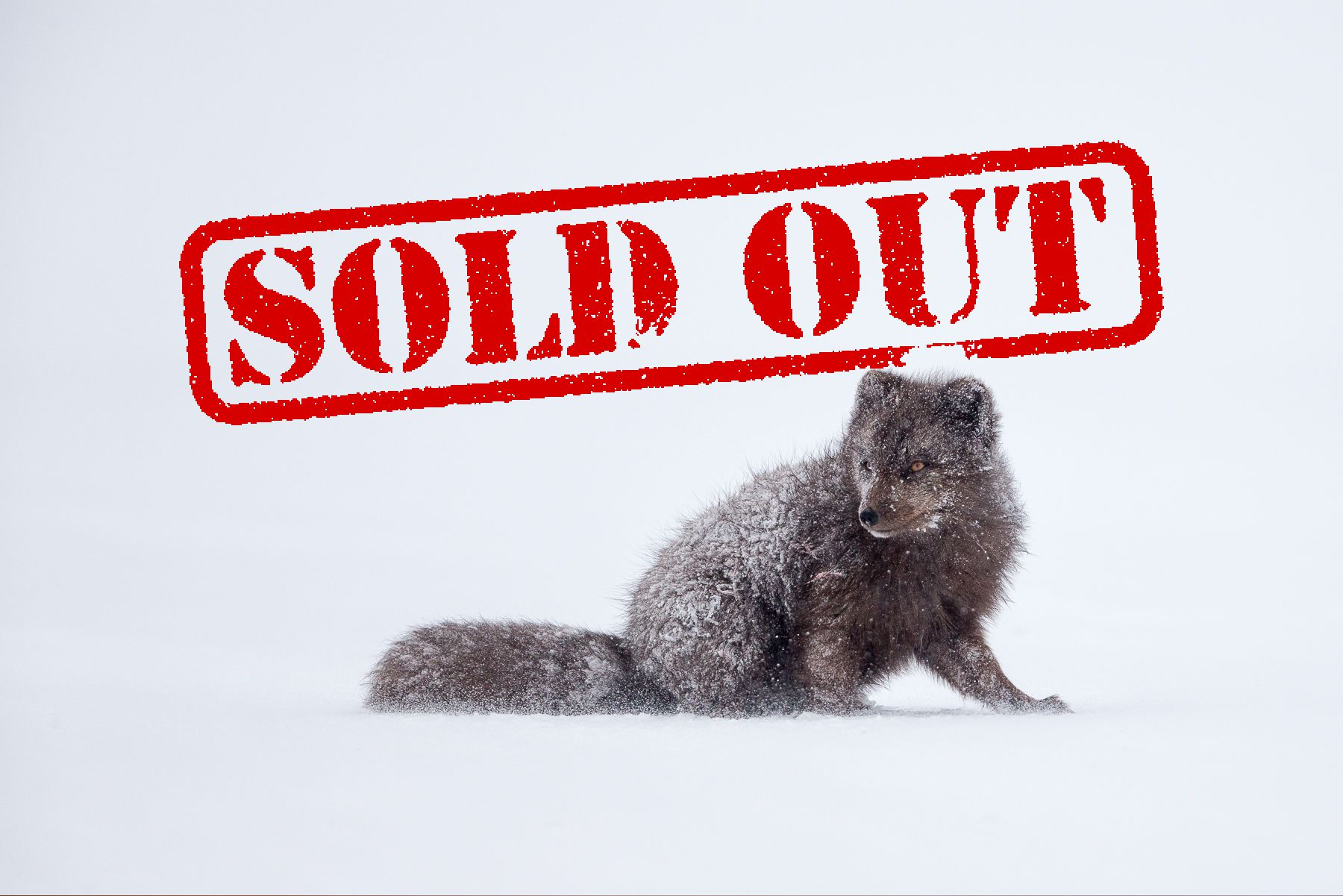Arctic Fox Expedition 2019