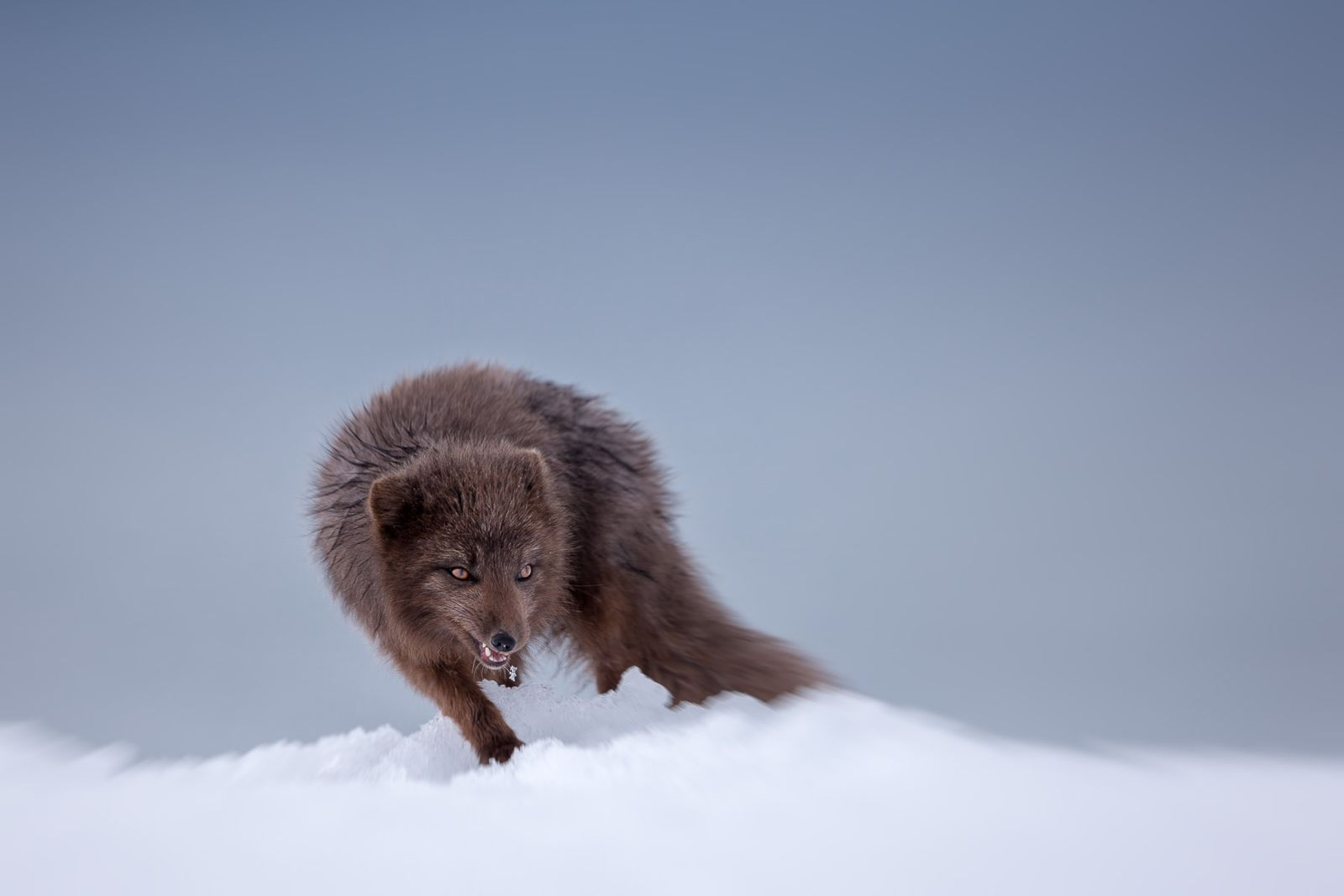Arctic Fox Photography by Joshua Holko