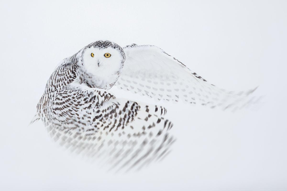 Snowy Owl in Flight Joshua Holko