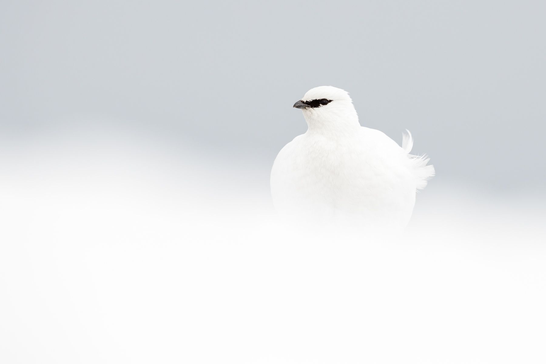 Svalbard Winter Ptarmigan