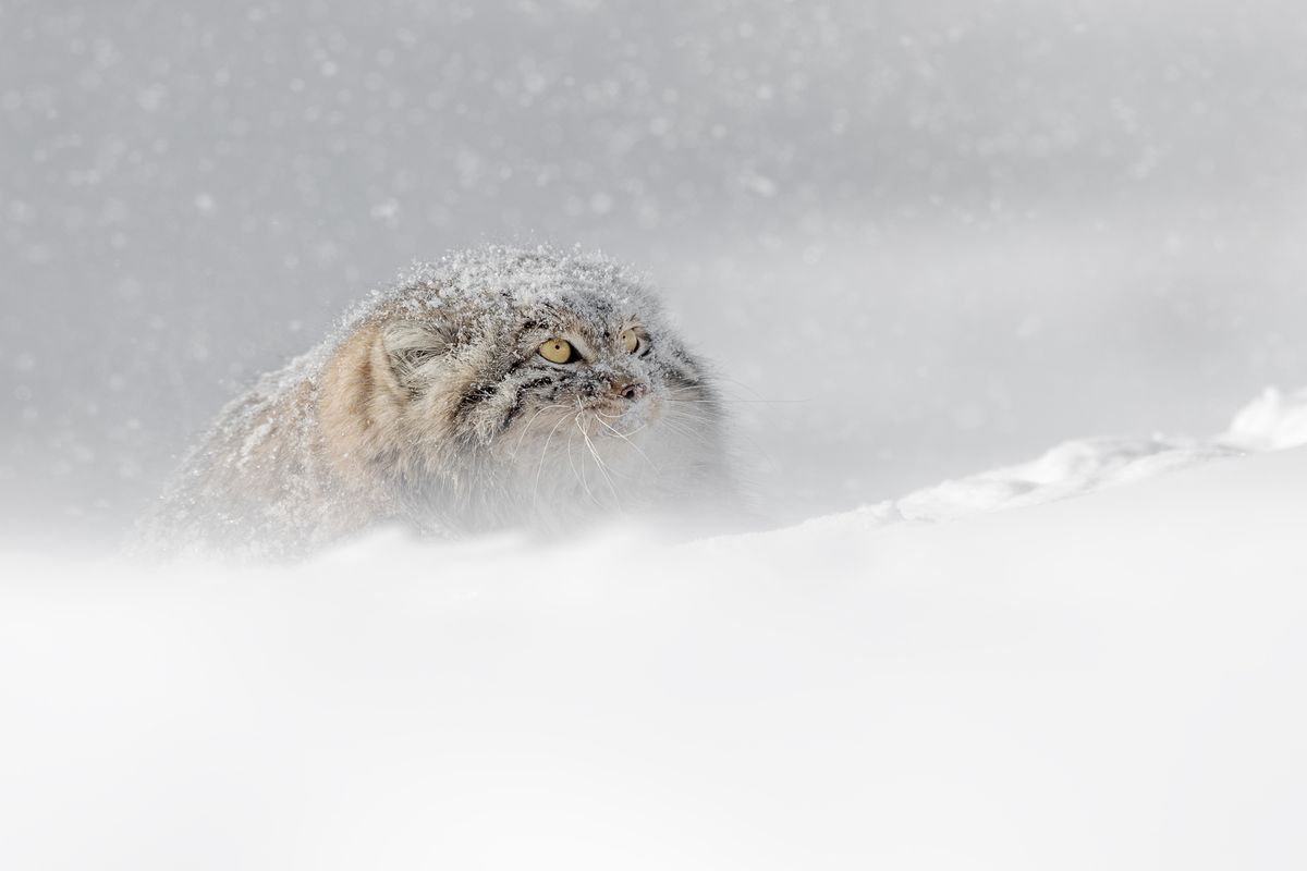 Pallas Cat in Snow in Winter in Mongolia