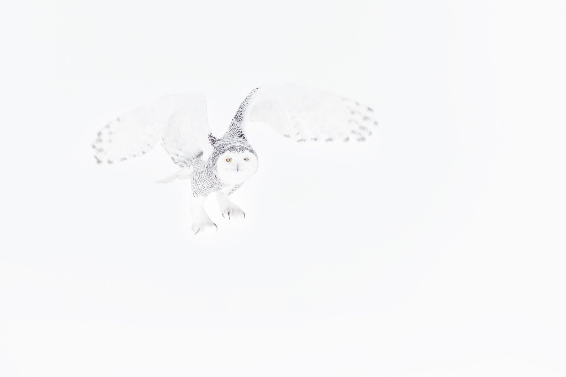 Snowy Owl Photograph by Joshua Holko