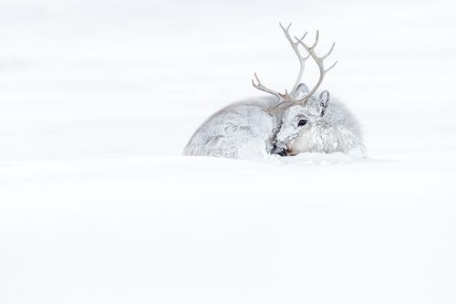 Reindeer in Svalbard in Winter