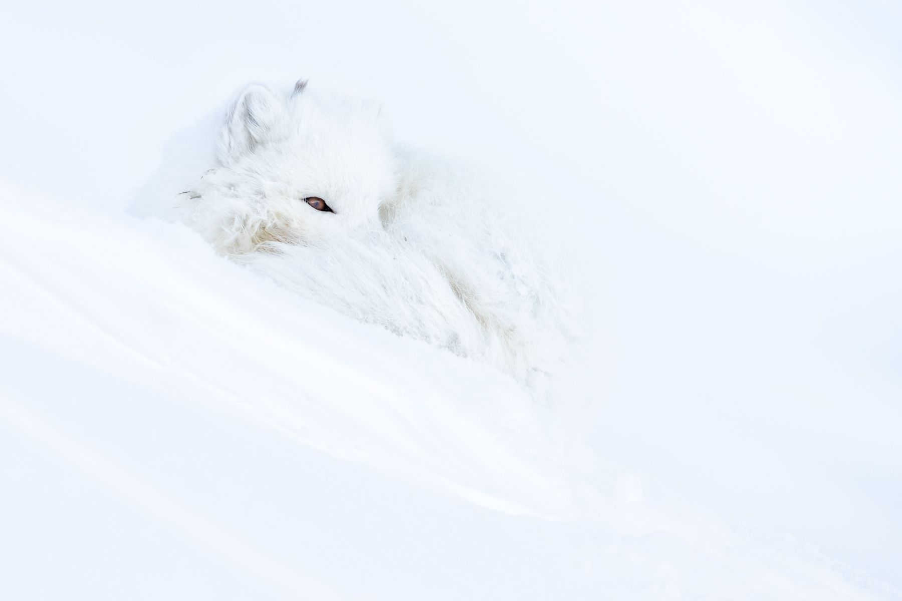 Arctic Fox Blizzard