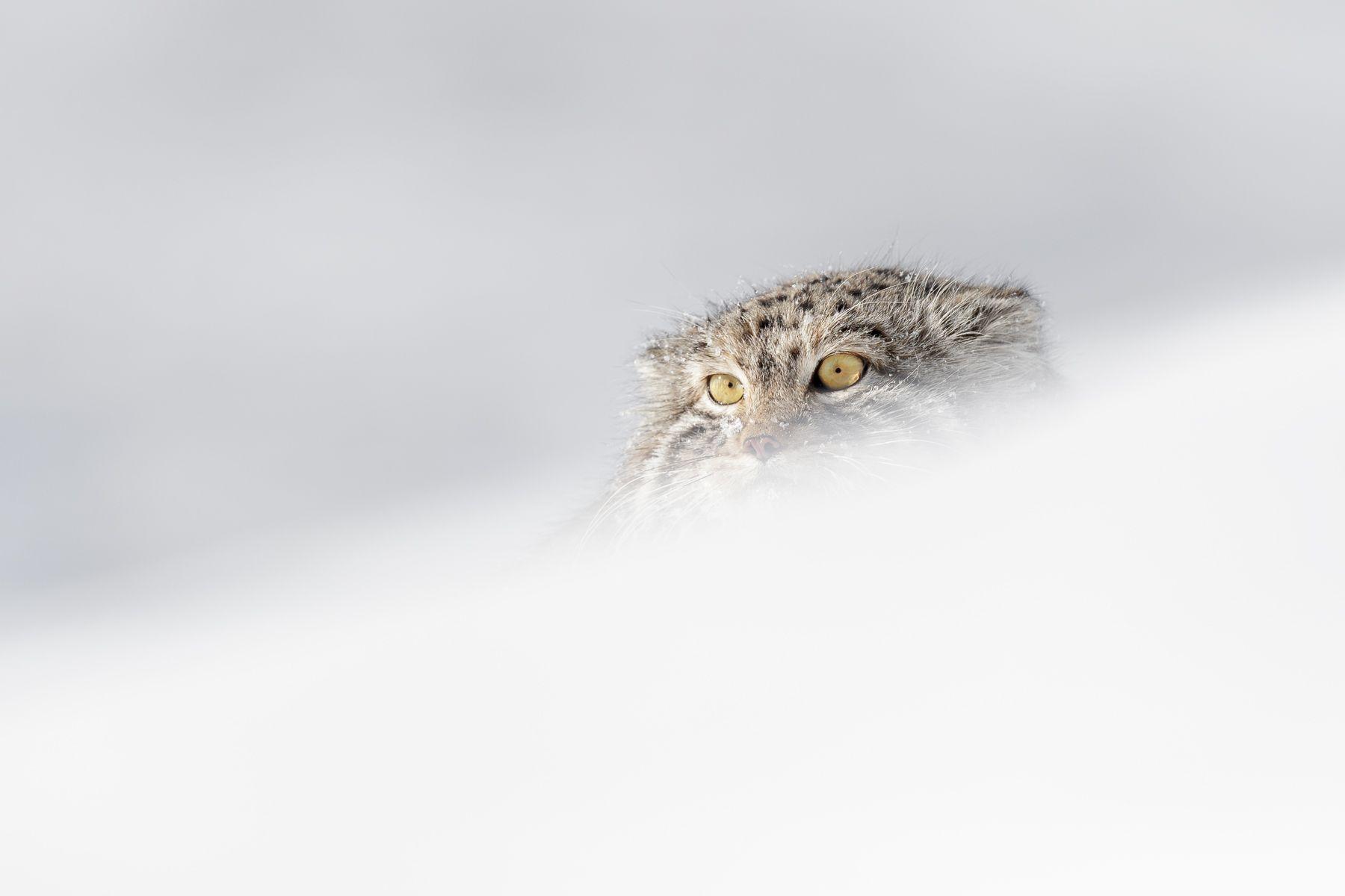 Pallas Cat in Snow in Winter in Mongolia