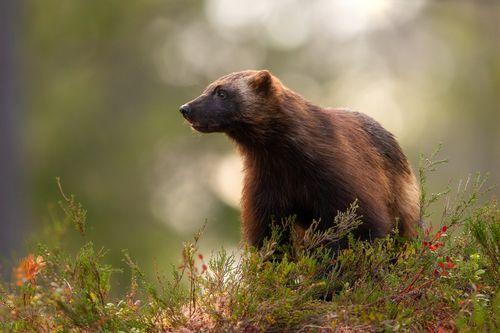 Wolverine in Finland