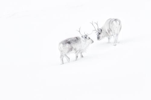 Svalbard Winter Reindeer